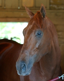 Funny Cide, whose Triple Crown bid was denied in 2003. Photo credit NYRA/Adam Coglianese