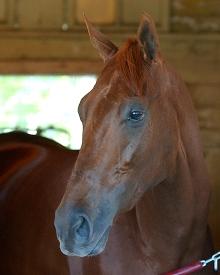 Funny Cide, whose Triple Crown bid was denied in 2003. Photo credit NYRA/Adam Coglianese