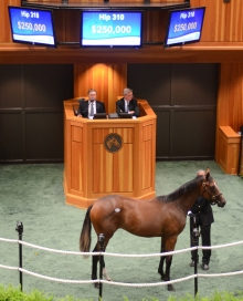 Hip 310, 2014 NY Bred Preferred Yearling sale